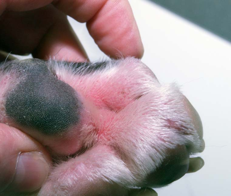 atopic dermatitis in dogs - 761×648