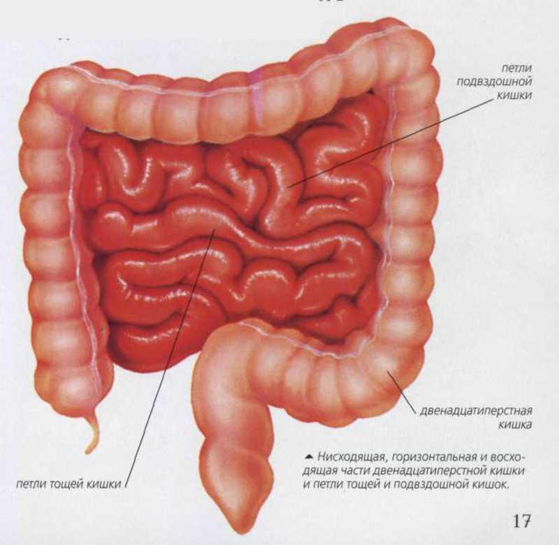 Структура стенок кишечника