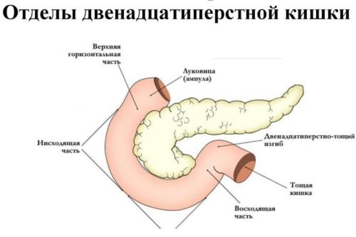 Отделы желудка человека схема фото 237